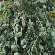 Майже тисячу незаконних рослин маку виявили на Прикарпатті