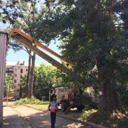 На вулиці Заклинських почали зрізати 80-річні тополі (ФОТО)