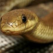 У Брошневі жінку на городі вкусила змія