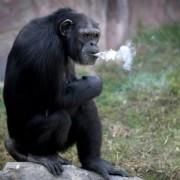 Жінки з сигаретами дещо схожі на цю мавпу… (відео)