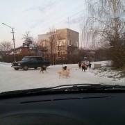 Мешканці Тисмениці скаржаться на зграї бездомних собак, що облюбували територію біля дитячого садка (фото)