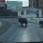 """Прикарпатським селом, у якому розташований гірськолижний курорт """"Буковель"""", спокійно бігають дикі кабани (фотофакт)"""