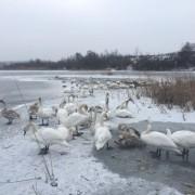 У Коломиї на озері замерзають лебеді. ФОТО