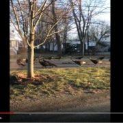 Хоровод індиків довкола мертвого кота: відео