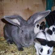 У прикарпатця з господарства вкрали 28 кролів