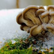 Аномально тепла зима: на Прикарпатті з`явилися гриби