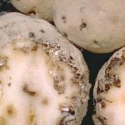 У двох селах Івано-Франківщини запровадили карантин через паразитів на картоплі