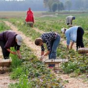 Невже українці почали поважати себе: польські фермери не можуть зібрати урожай полуниці