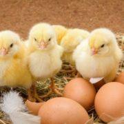 У Грузії з викинутих на смітник яєць вилупилися тисячі курчат: кумедне відео