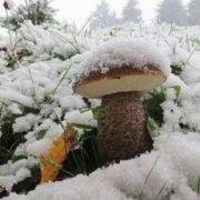 Прикарпатці під снігом знаходять гриби. ФОТО