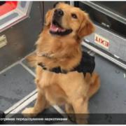 У США службовий пес отримав передозування наркотиками, обнюхуючи пасажирів