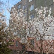 В Бурштині серед зими розцвіла сакура (фото)