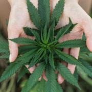 Петиція за легалізацію медичної марихуани зібрала необхідну кількість підписів