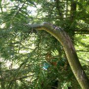 На Прикарпатті величезна змія налякала людей (фотофакт)