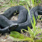 На Калущині чоловіка вкусила змія