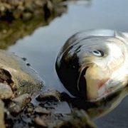 У річці на Калущині через забруднення нечистотами загинула риба