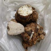 Прикарпатка випадково знайшла рідкісний гриб, вартістю як дорогоцінний камінь (ФОТО)