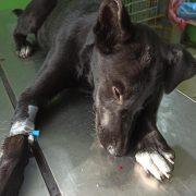 У Калуші безпритульному собаці порізали вуха, а цуценя — вбили