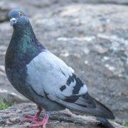 Не годуйте голубів, оминайте, не фотографуйтеся з ними на вулицях