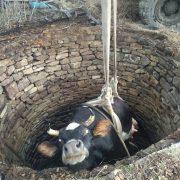 У Ворохті корова впала в колодязь з водою