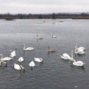 До Калуша прилетіли зимувати 37 лебедів. ФОТО