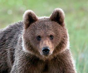 Молодий ведмідь три дні гуляв селом на Прикарпатті