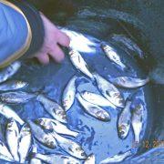У Бурштинське водосховище запустили 6,8 тонн риби