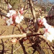 Чудо і добрий знак: в карпатському селі розцвіла калина (ФОТО)