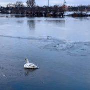 У Франківську на Німецькому озері до криги примерз молодий лебідь. ФОТО