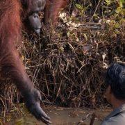 В Індонезії чоловік загруз у річковій багнюці — орангутан простяг йому «руку допомоги»