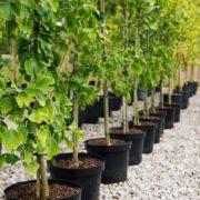 Цієї весни у Франківську висадили 330 саджанців дерев (ФОТО)