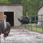 На Прикарпатті атовець з родиною відкрив страусину ферму