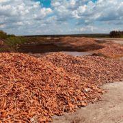 Під Києвом підприємець викинув пару тонн моркви, яку не вдалося продати ( ВІДЕО)