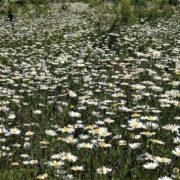 На Івано-Франківщині розцвіло ромашкове поле на 25 га (ФОТО)