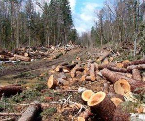 На Прикарпатті депутату та його спільникам оголосили підозру через масову вирубку лісу