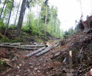 Як вирубка Карпат вплинула на стихію-2020? Відповідають прикарпатські лісівники