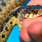 На Верховинщині шестирічну дитину вкусила змія