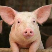 На Прикарпатті виявили спалах африканської чуми свиней