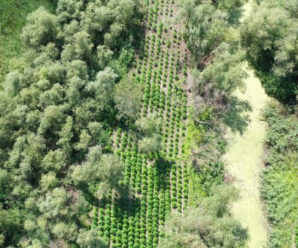 На Одещині виявили конопляну плантацію на 40 млн гривень
