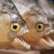 """Кусаються та переносять заразу: в українських річках завелися небезпечні для людей """"риби-чужинці"""""""