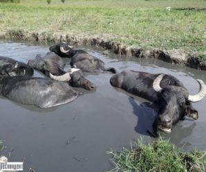 Франківський фермер відновлює популяцію рідкісних буйволів (фото)