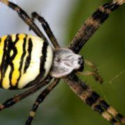 В Ужгороді дитину вкусив рідкісний отруйний павук: ховався в малині
