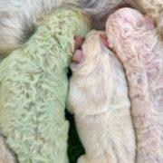 В Італії на фермі народилося цуценя з шерстю рідкісного кольору