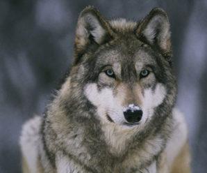 На Прикарпатті курортне селище атакують вовки