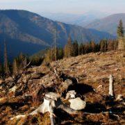 Повінь рубкам не завада: у Карпатах продовжують незаконно рубати ліс