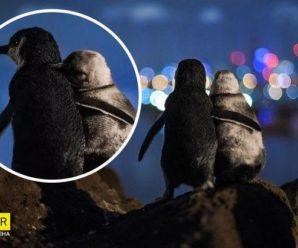 Ця історія про овдовілих пінгвінів розчулить вас до сліз: зустрічаються, щоб втішити одне одного (фото)