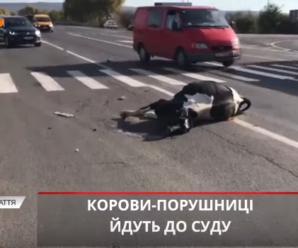 Рогата ДТП на Прикарпатті – корова розбила авто і померла (ВІДЕО)