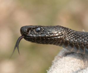 На Івано-Франківщині жінку вкусила змія