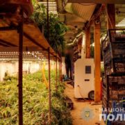 На Закарпатті чоловік під землею вирощував коноплю на 5 млн гривень (відео)
